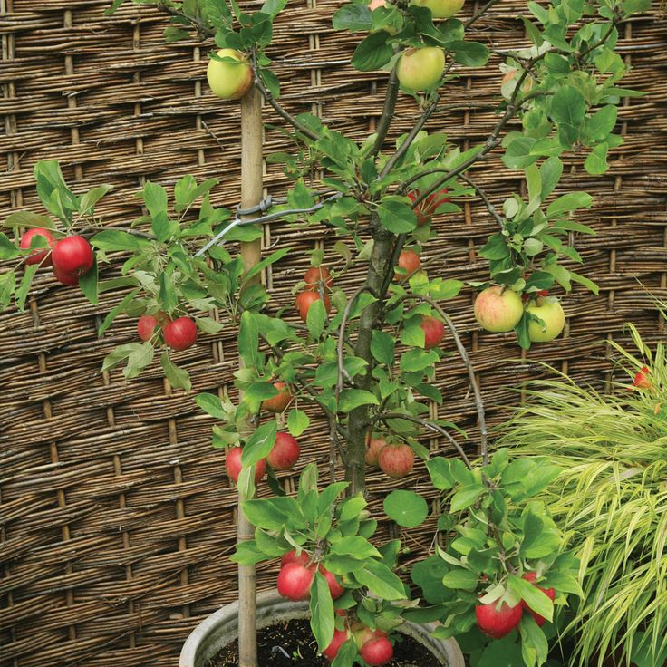 1000 ideas about patio fruit trees on pinterest. Black Bedroom Furniture Sets. Home Design Ideas