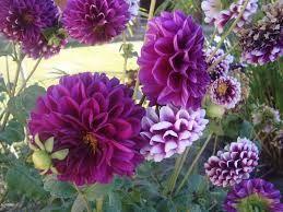 Cómo cultivar bulbos de dalias gigantes en maceta    #Flores #Plantas #Cuidados #Jardin #Dalias #Bulbos
