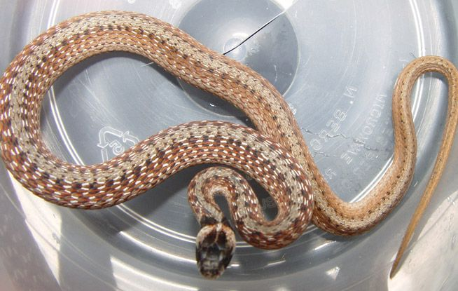 Florida Brown Snake Information & Facts