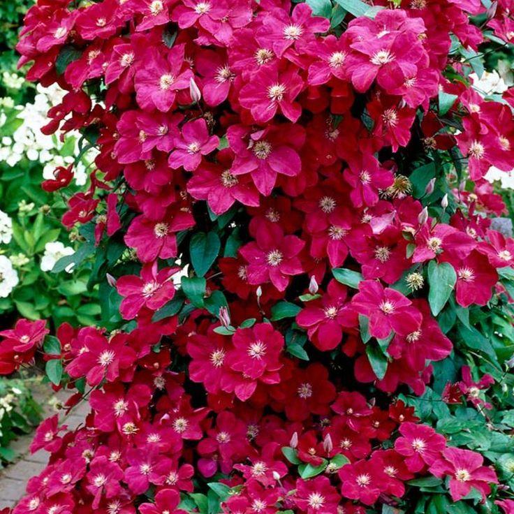 loistok rh ernest markham kev t 2015 spring 2015 pinterest clematis plants and flowers. Black Bedroom Furniture Sets. Home Design Ideas