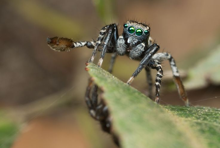 New Spider Species Found, Plays Peekaboo to Attract Mates, Jotus remus