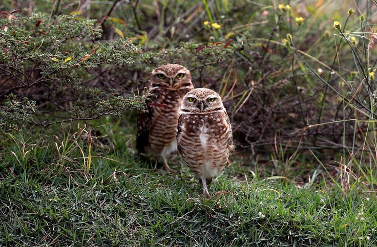 Burrowing owls at the Olympic Golf Course on the sixth day of the Rio Olympic Games, Brazil.