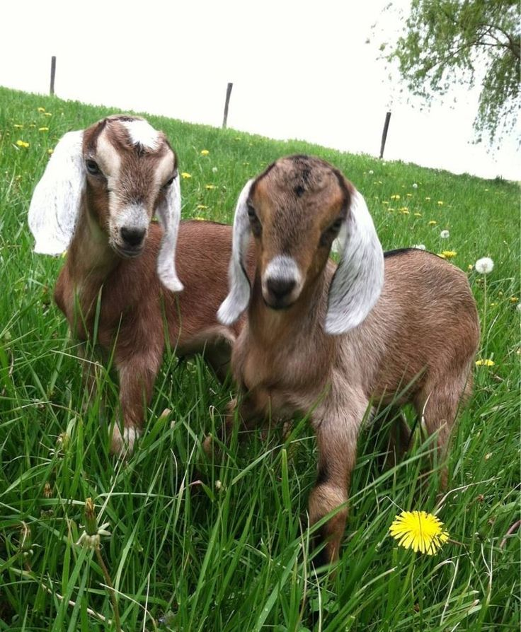 778 Best Goat Farm Images On Pinterest: 17 Best Images About Silly Goats On Pinterest