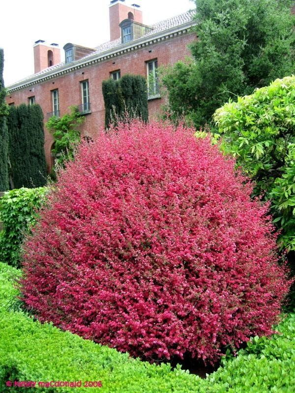 New Zealand Tea Tree, Leptospermum Red Damask
