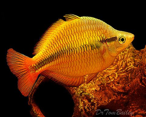 Yellow Rainbow Fish   Yellow Lake Tebera Rainbowfish at AquariumFish.net, where you can shop ...