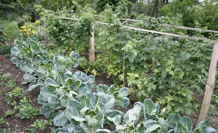 Rosenkohl richtig anbauen -  Wer Rosenkohl anbaut, braucht Geduld. Die Röschen reifen erst spät, doch mit den richtigen Sorten können Sie die Ernte bis ins Frühjahr ausdehnen.