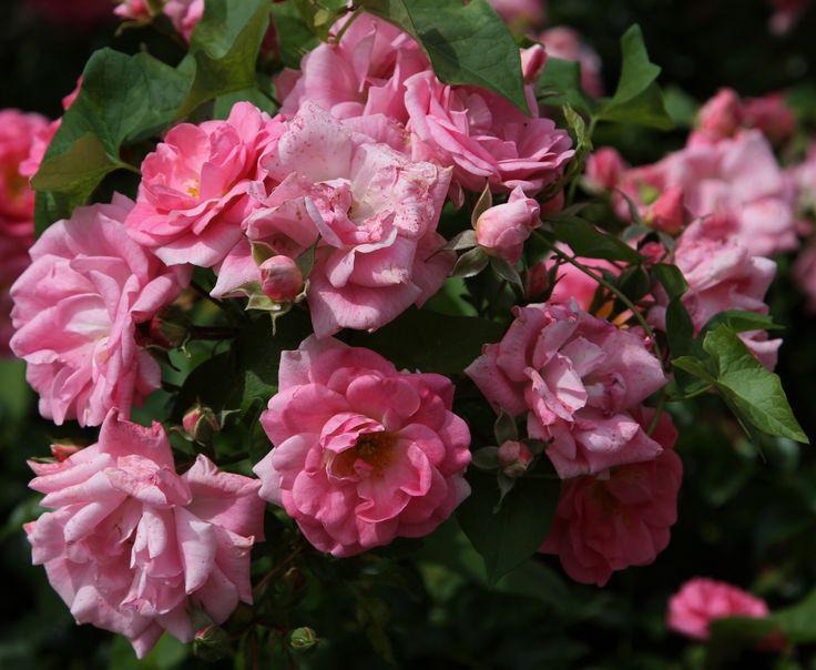 Roselline in un giardino