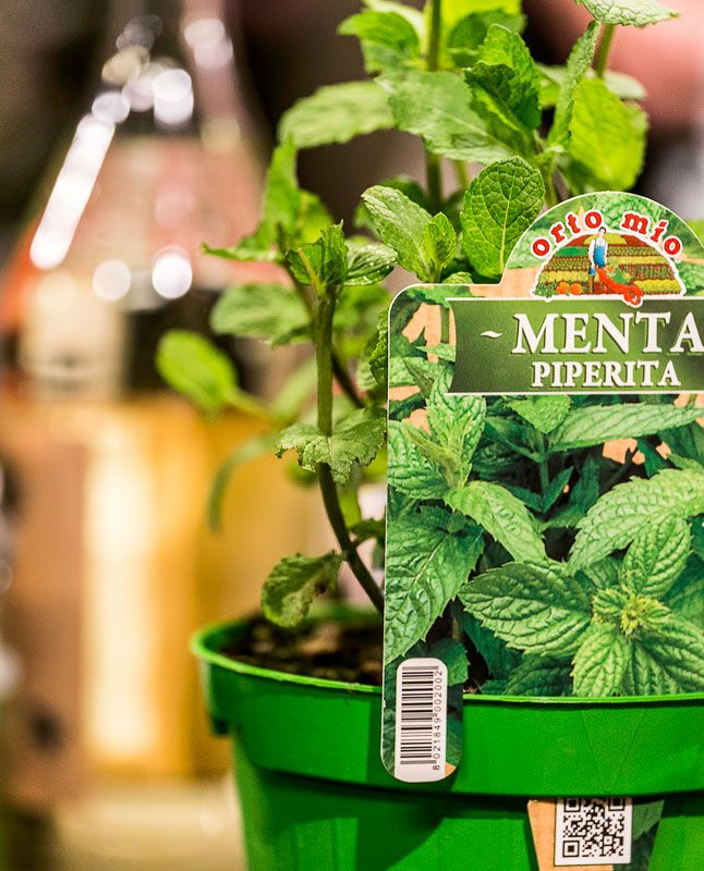 Grilled #mint? Of course not! Mix it with yogurt and use this sauce to flavor your #meat! #food #Agricola #GreeNight