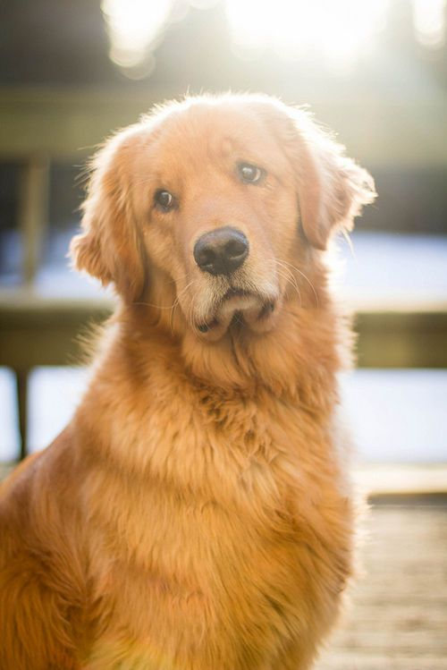 17 Best images about i love ..GOLDEN RETRIEVER on ...