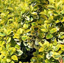 Euonymus fortunei - most common cultivars Emerald 'n' Gold, Silver Queen, Emerald Gaiety and Harlequin