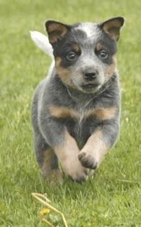 This is the dog Aaron wants. Queensland heeler puppy