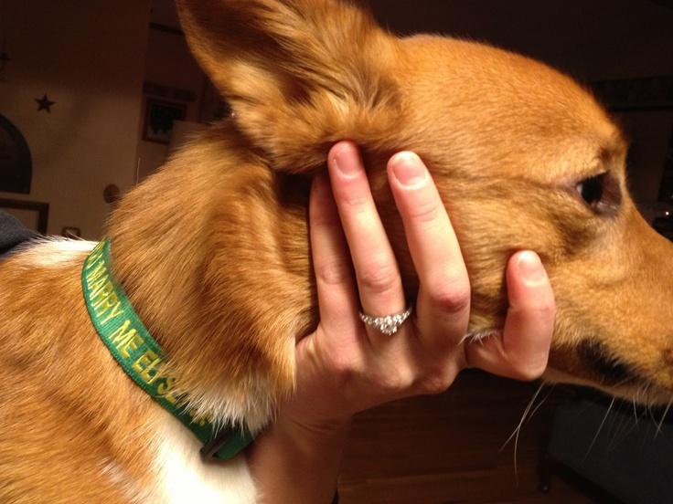 The Daily Corgi: A man, a Corgi, and a marriage proposal! #corgi