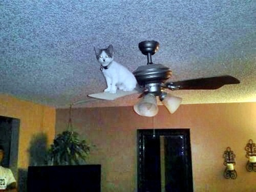 Cat ceiling fan best ceiling 2018 ceiling cat is poised to pounce pinx pets mozeypictures Image collections