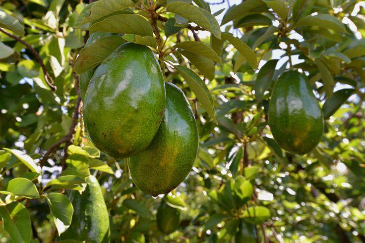 Nutrition of Avocado http://time.com/3387662/5-amazing-powers-of-avocados/