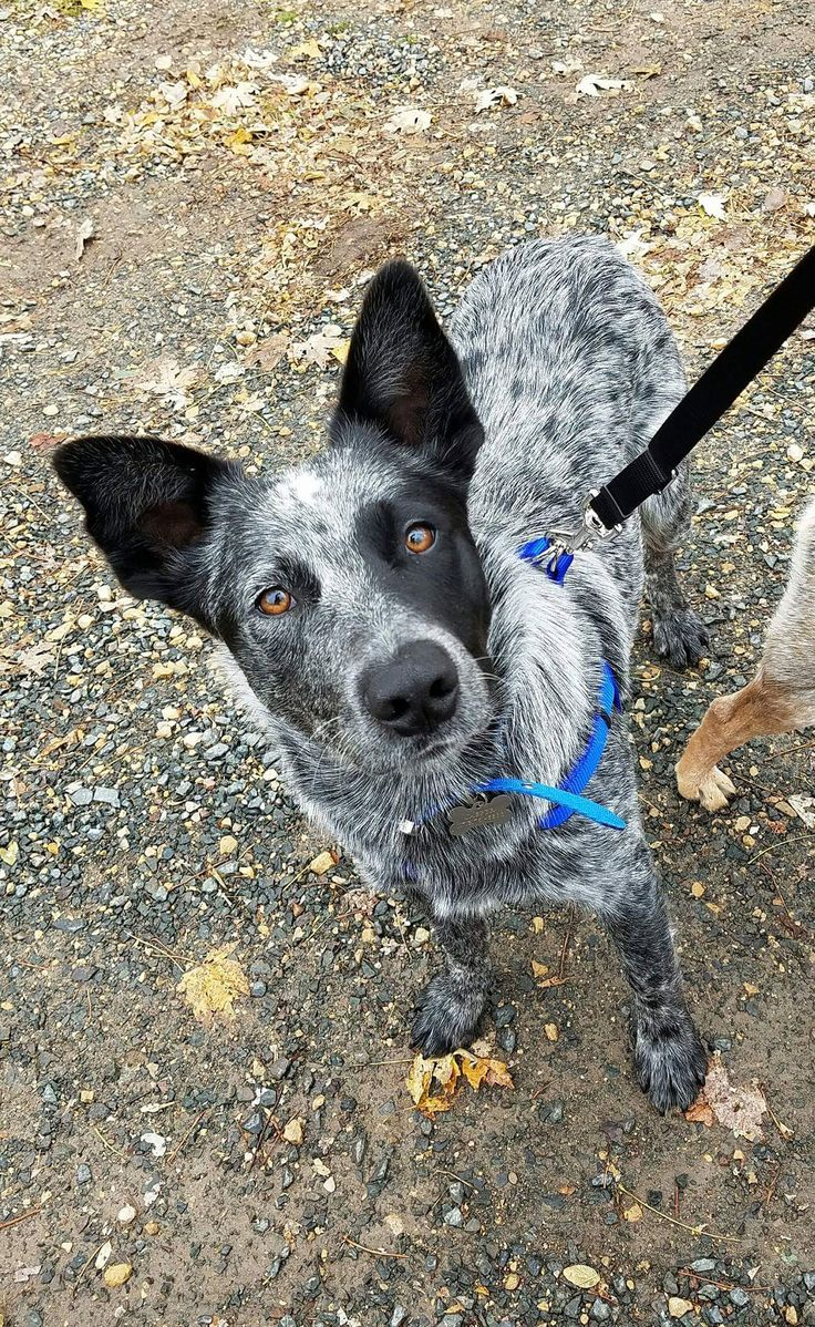 Australian Cattle Dogs are so beautiful!