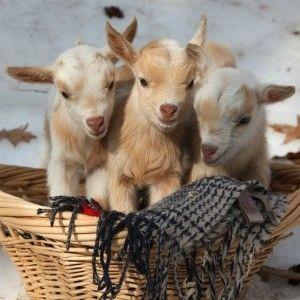 The Goat Cam in 2020   Goats, Baby goats, Nigerian dwarf goats