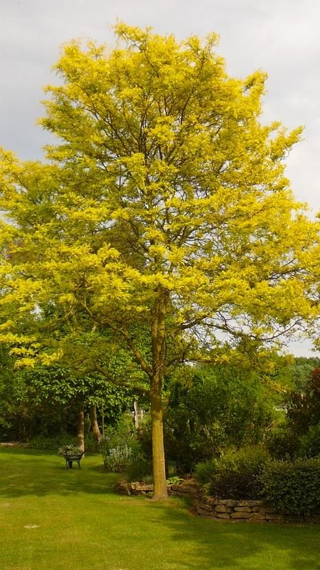 Alternative To Maple Gleditsia Triacanthos Quot Sunburst