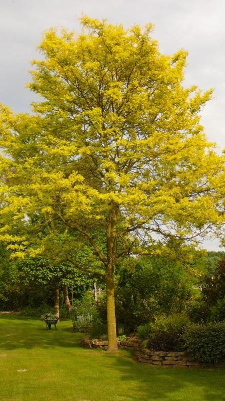 Alternative to maple Gleditsia triacanthos sunburst
