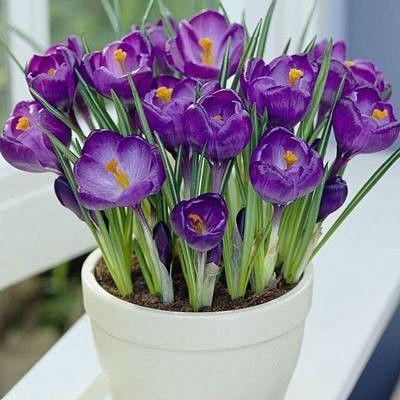 mejores 9 imágenes de bulbos en pinterest   flores, cultivo de