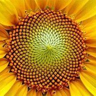 La proporzione aurea nel girasole  Spirali e Fibonacci girasole