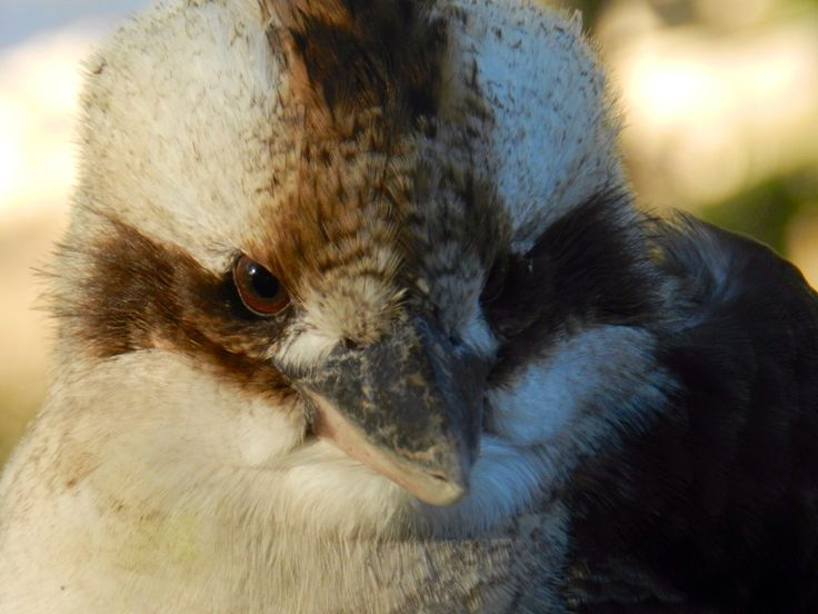 Kookaburra at Moama, NSW. One cm closer and I would have a pecked lens