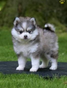 Pomsky Mini Puppies For Sale Lancaster Puppies Puppies For Sale Mini Puppies