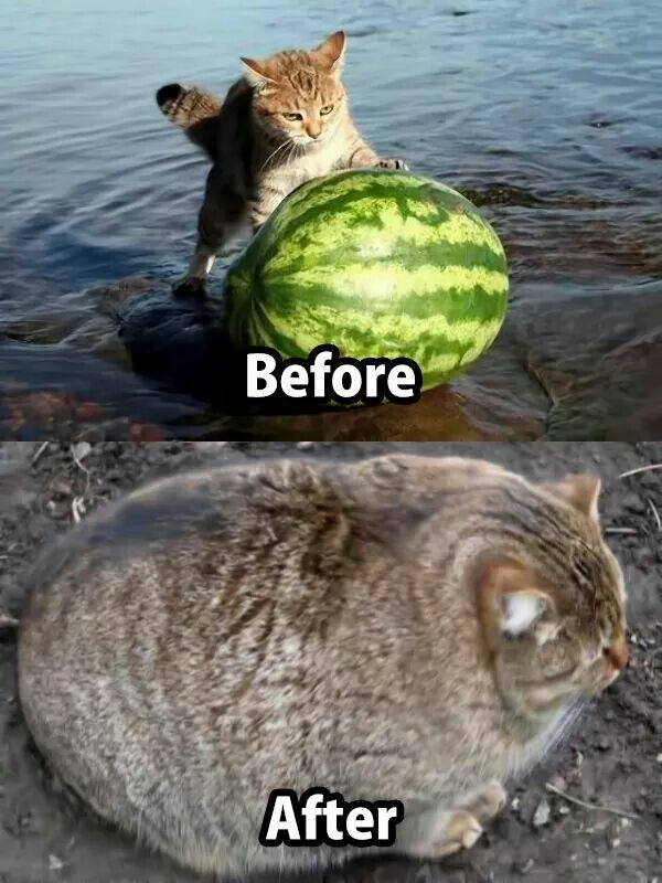 Cat Eating Watermelon Meme
