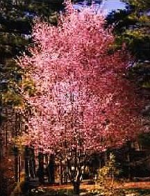 - Flowering cherries are non-fruiting trees, but they still produce masses of pretty blooms in spring.