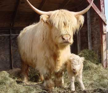Haley Ann - Is this what we saw on our walk in Leverkusen? (Scottish Highland Cow)