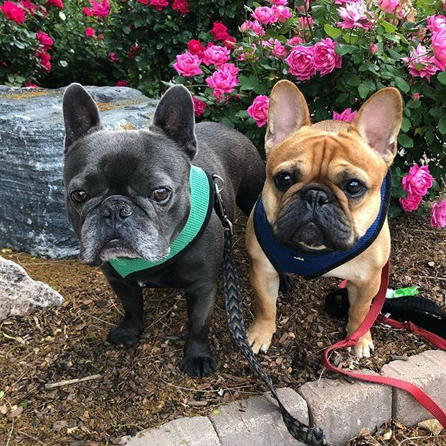 Pin On Frenchiecute Curators