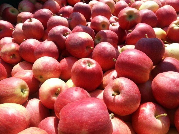 Apfelernte - Gala