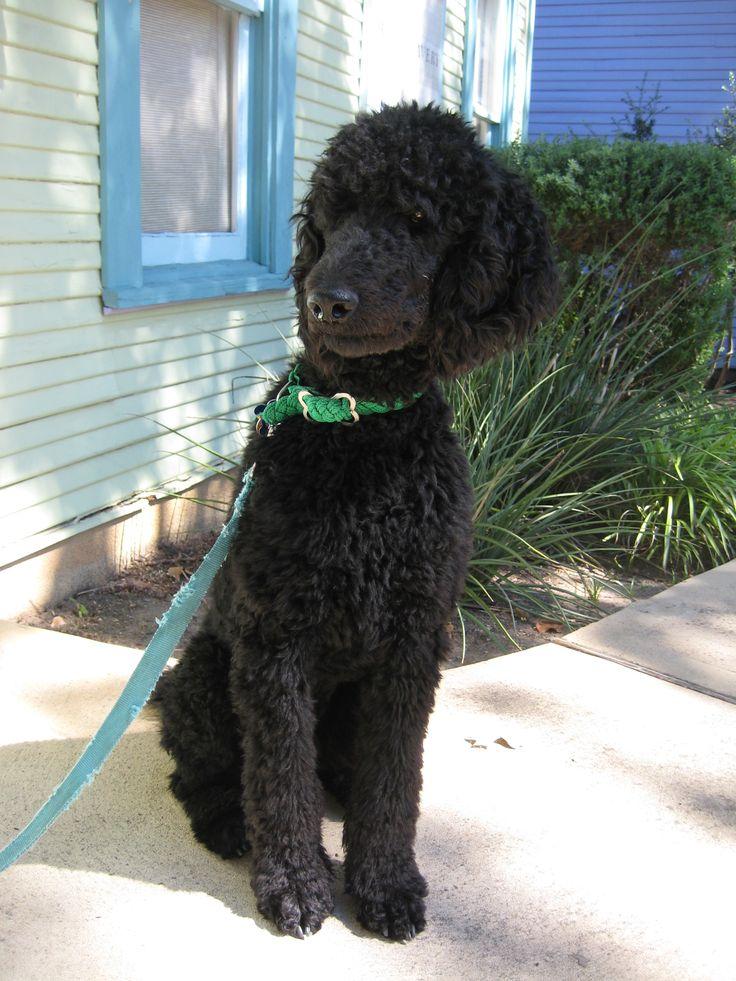 Valentine's Day is 1 Month Away! Poodle puppy, Poodle