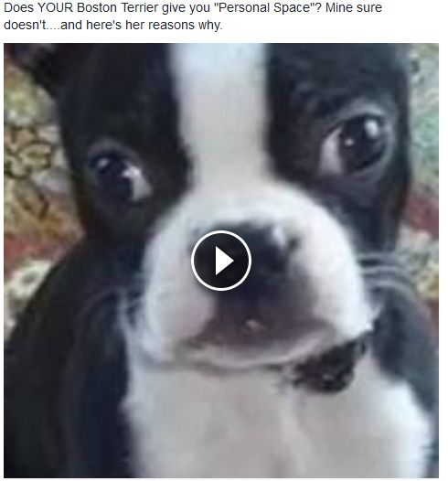 """Funny Boston Terrier Video - Does YOUR Boston Terrier give you """"personal space""""?  Mine sure doesn't - and THIS is what she has to say about it lol!"""