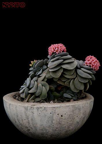 Crassula cv. Morgan's Beauty 1   by Nyxtofulakas