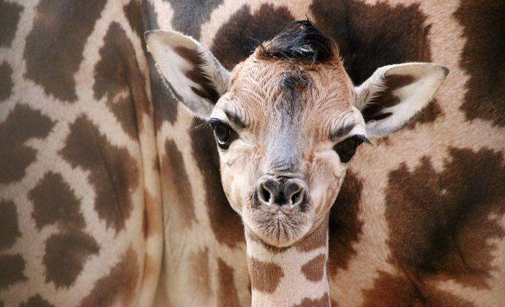 Giraffenbulle, Giraffenbaby, Nachwuchs Opel-Zoo