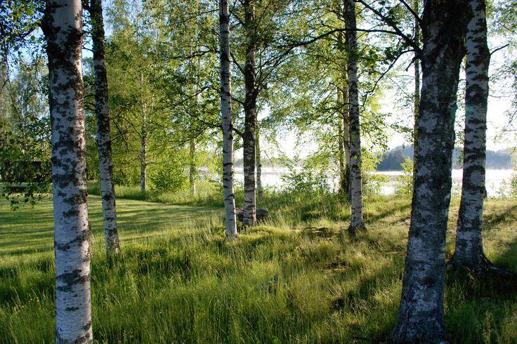 Grove of birch trees by a lake. Photo by; Mattias Samuelsson