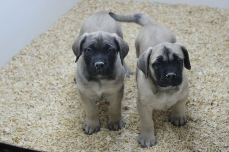 English Mastiff puppies For Sale - Here are 2 eight week old english mastiff puppies for sale