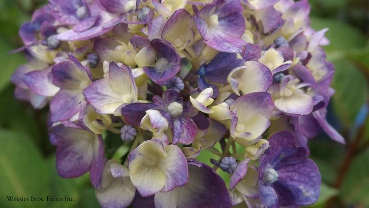 This Endless Summer Bloomstruck Hydrangea flower opening is just the beginning of a dramatic color change to dark blues/pinks.  It also has red stems for more interest. Weesies Garden Center 2015