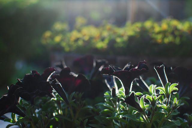 Almbacken - svarta petunior och klöver.