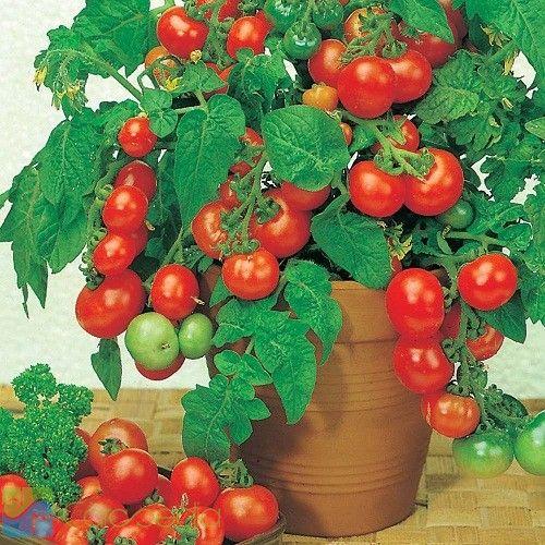Cara Budidaya Tanaman Tomat Cherry di dalam Pot - Cara Berkebun
