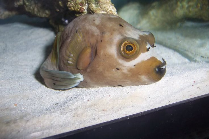 39 best images about funny cute animals on pinterest tv for Dog face puffer fish