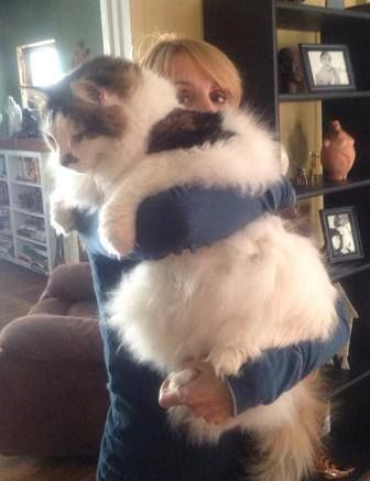 Biggest damn housecat you've ever seen. Tried to include the banana peel, but he ate it. - Imgur