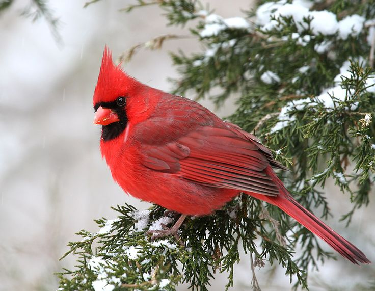 Winter Cardinals Free Birds Wallpaper