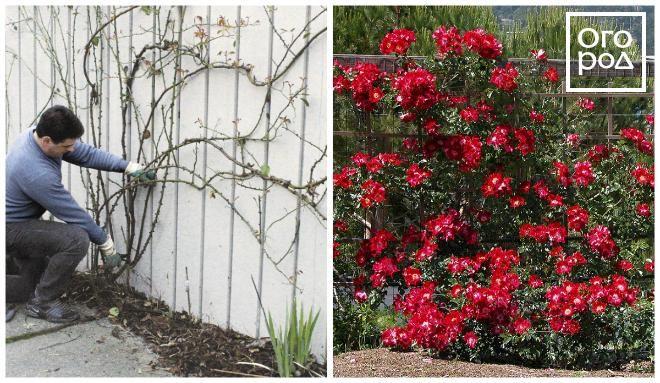 формировка плетистых роз на опоре