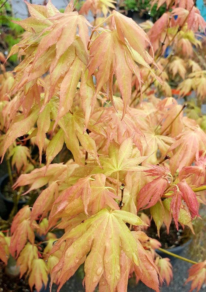 Acer palmatum 'Mizu kigure' 'Mizu kigure' has large leaves that are a bright lime green highlighted by a burgundy bronze. The name 'Mizu kigure' literally translates as the color a leaf turns when plunged into water. Fall color on 'Mizu kigure' turns to a bright orange. 'Mizu kigure' may reach 8-10 ft in height in 15 years.