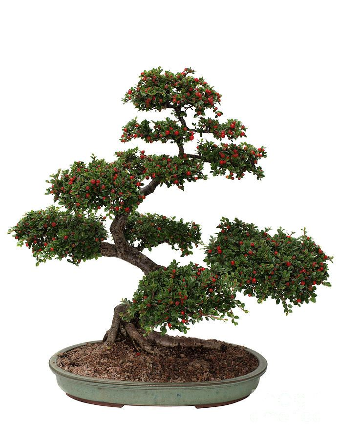 Bonsai Art | Cotoneaster Bonsai Photograph
