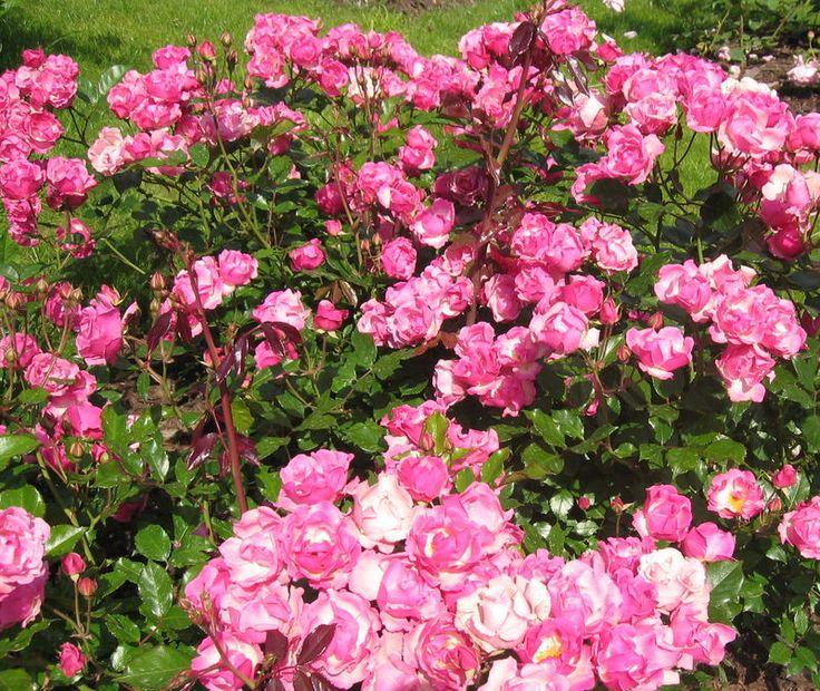 Polyantha rose - Google Search