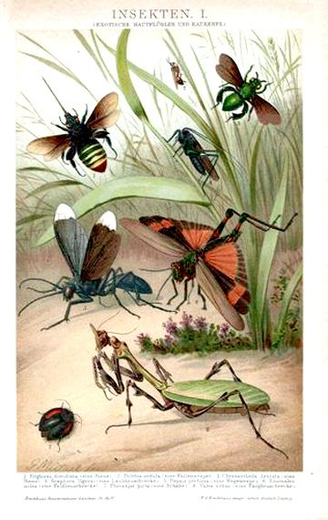 1890 Antique Lithograph Print Insects Wasps Bees Grasshoppers Entomology