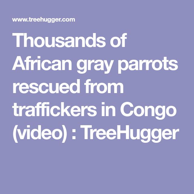 Thousands of African gray parrots rescued from traffickers in Congo (video) : TreeHugger