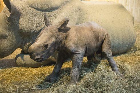 Un bébé rhinocéros blanc est né au Zoo d'Amnéville